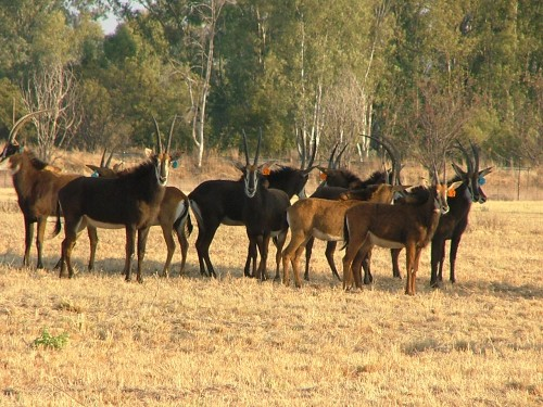 14 sable antelope for sale theagritrader com